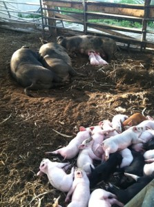 Freshly hatched piglets in Manchester! The noise at feeding time was defeaning.